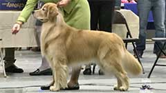 54d8ffce673830fd185e493c_Golden%20Retriever.jpg